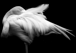 A black and white photo of a flamingo, dramatically lit from above