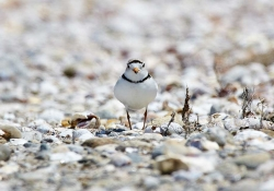 A bird standing on a pebble beach looking directly at the viewer