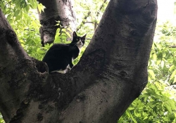 A black and white cat pauses in the junction of two large branches of a tree, looking back anxiously at its owner
