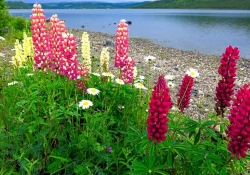 A clutch of red flowers rising up out of green foliage on the edge of a lake