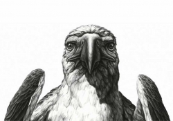 A detailed black and white illustration of a bird of prey directly facing the viewer