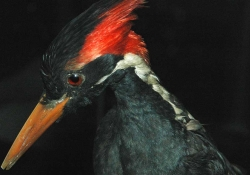 A photograph of an ivory-billed woodpecker