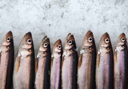 A photograph of a row of sardines laying mouth agape on a bed of ice