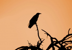 A photograph of the silhouette of a large bird sitting on a bare tree branch, foregrounded against a peach colored sky