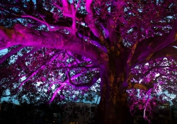 A fig tree as dusk, dramatically lit in purple from below