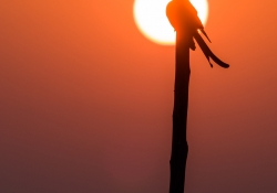 """Mike Prince, """"Black Drongo at Sunrise,"""" October 7, 2015"""