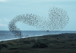 Starling murmuration. Photo by Airwolfhound/Flickr