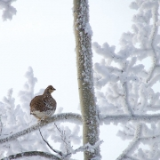 A grouse on a snowy branch in winter